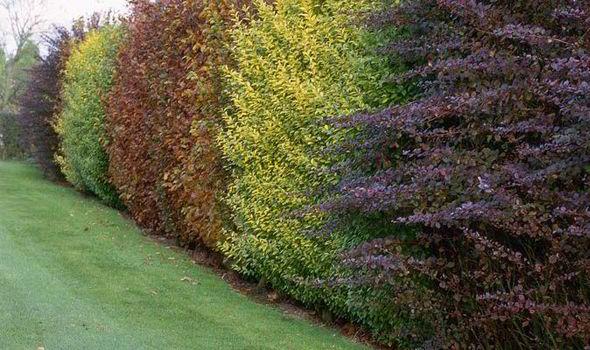 Alan-Titchamrsh-garden-barrier-pivet-hedge-wildlife-551098